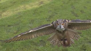 Slow motion - atterrissage d'un hibou
