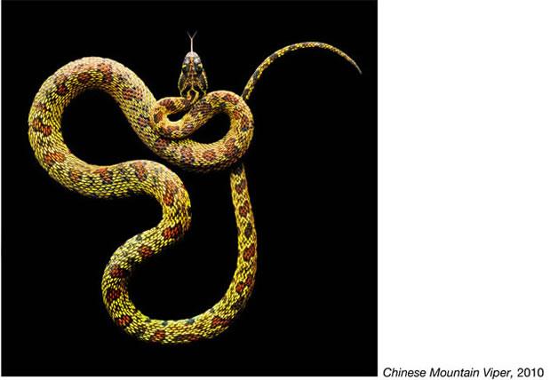 Serpentine - Photos de serpents colorés 17