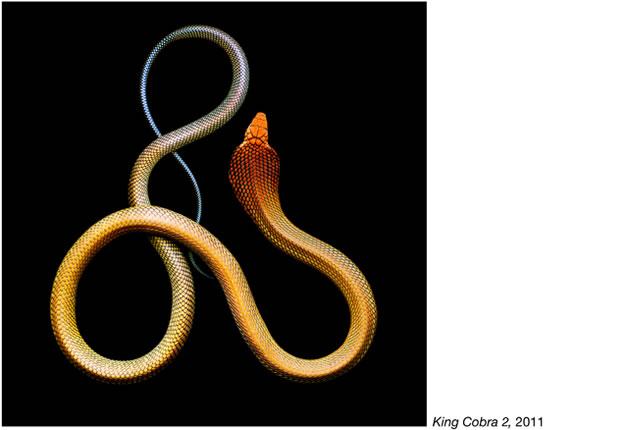 Serpentine - Photos de serpents colorés 3