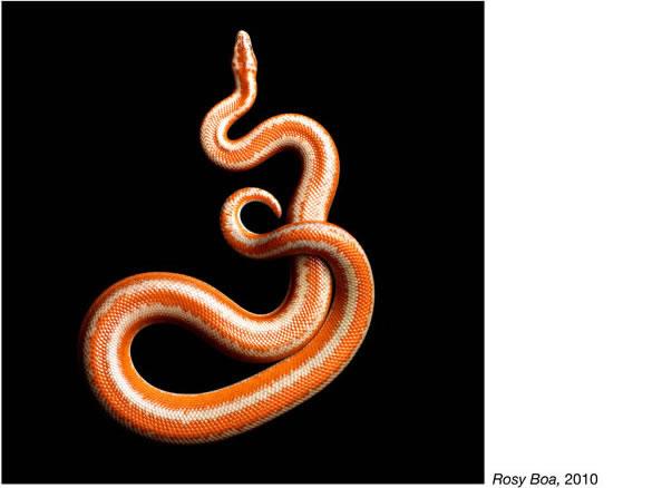 Serpentine - Photos de serpents colorés 21