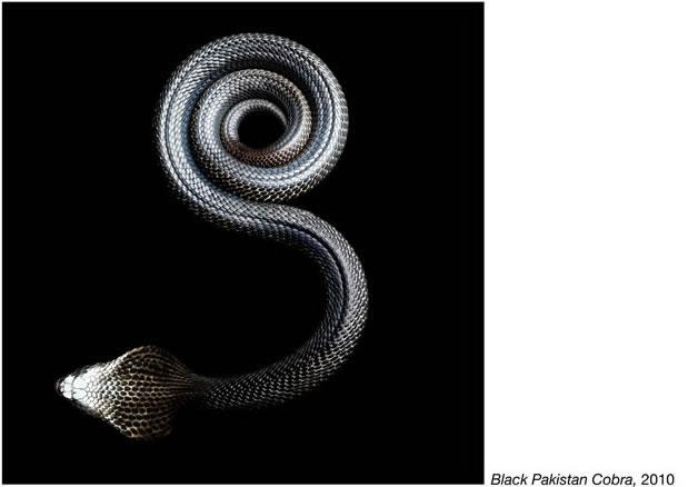 Serpentine - Photos de serpents colorés 4