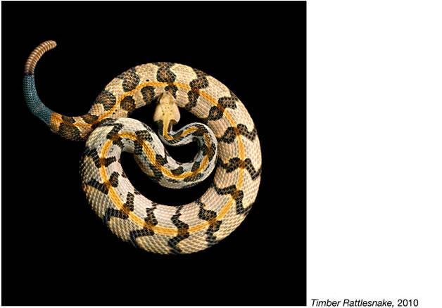 Serpentine - Photos de serpents colorés 5
