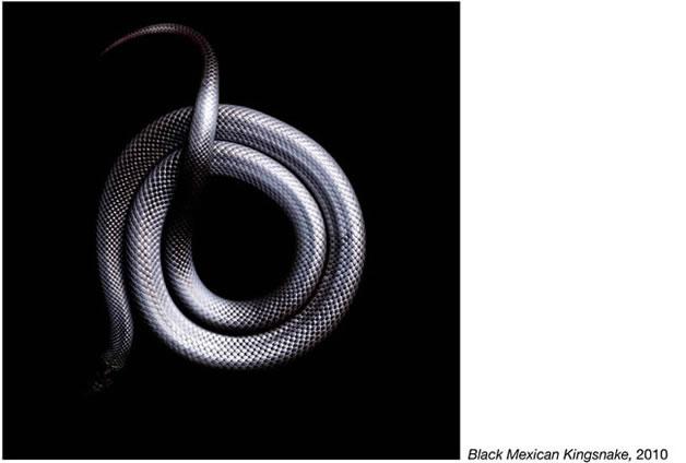 Serpentine - Photos de serpents colorés 10