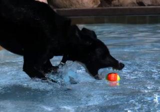 Des chiens dans une piscine en Slow motion