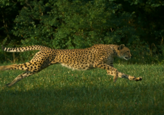 SlowMotion : Cheetahs (Guépard) on the Edge 1