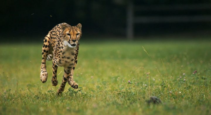 SlowMotion : Cheetahs (Guépard) on the Edge 2
