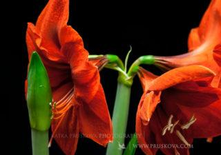 Timelapse : L'éclosion de fleurs