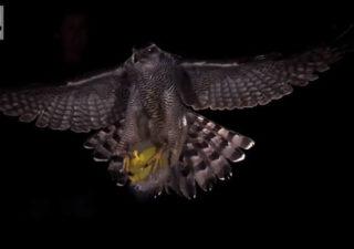 Slowmotion : attaque d'un faucon