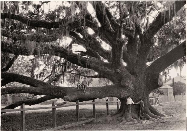 02 Enfants assis sur les branches d'un chêne géant - Louisiane, 1929