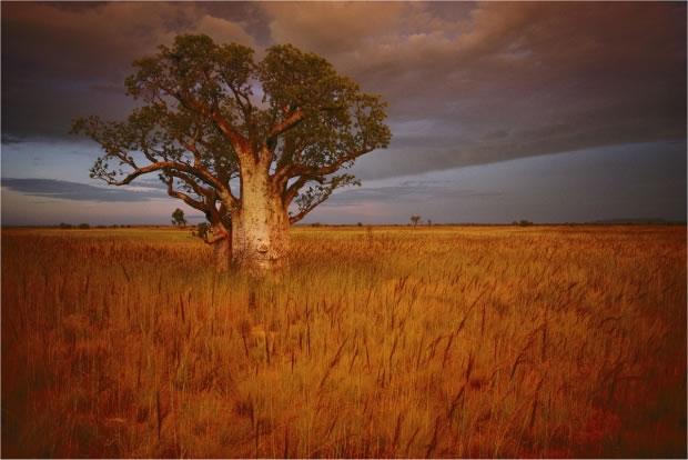 06 Un Baobab à Wyndham (Australie, 1991)