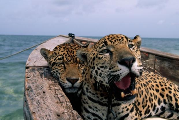 23 Un couple de jaguars à Cancun (Mexique, 2001)