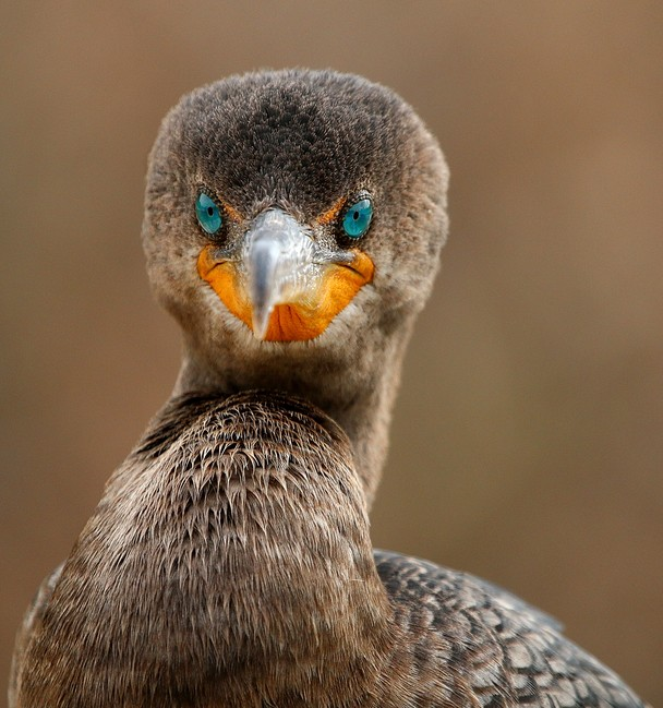 Direct Eye Contact with a Cormorant by Sandy Scott