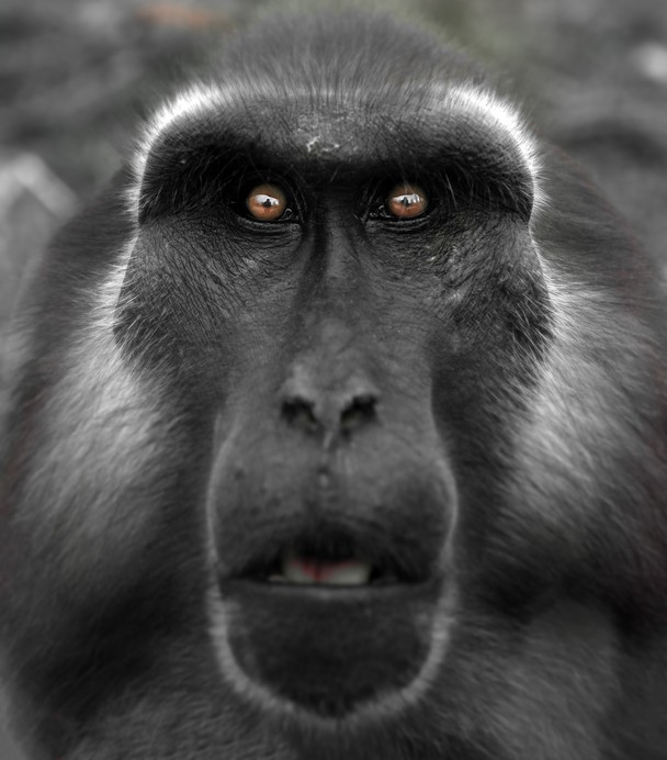 macaque by Bruce Thionville