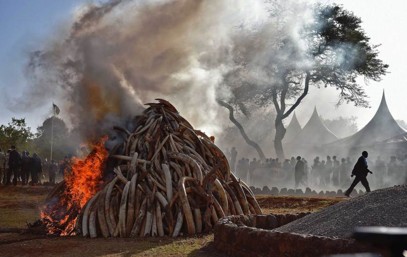 People stand near a burning pile of 15 tonnes of elephant ivory seized in kenya in Nairobi National Park on March 3, 2015. Kenyan President Uhuru Kenyatta set fire to a giant pile of elephant ivory, vowing to destroy the country's entire stockpile of illegal tusks by the year's end. The 15 tonnes destroyed was worth some $30 million (over 26 million euros) on the black market and represented up to 1,500 slaughtered elephants -- and dwarfs the ivory burned by previous Kenyan leaders. AFP PHOTO / CARL DE SOUZACARL DE SOUZA/AFP/Getty Images