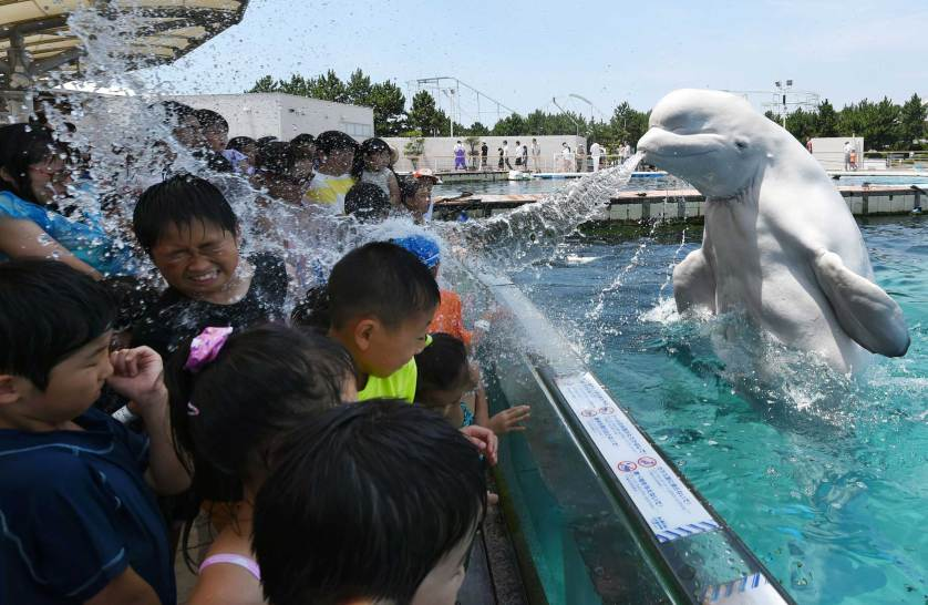 TOPSHOTS A beluga whale sprays water towards visitors during a summer attraction at the Hakkeijima Sea Paradise aquarium in Yokohama, suburban Tokyo on July 20, 2015. Tokyo's temperature climbed over 34 degree Celsius on July 20, one day after the end of the rainy season. AFP PHOTO / Toshifumi KITAMURATOSHIFUMI KITAMURA/AFP/Getty Images