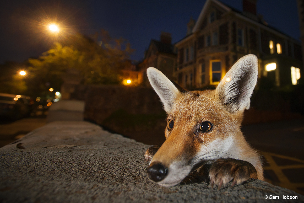 Yound urban red fox (Vulpes vulpes) poking its head up over a wall. Bristol, UK. August