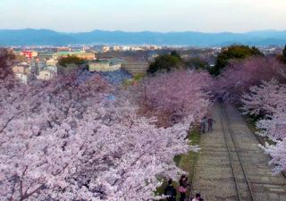 Timelapse de la floraison des cerisiers du Japon vue d'un Drone 1