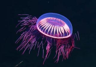 Mère nature : Découvrez les couleurs extraordinaires d'une méduse des abysses 1