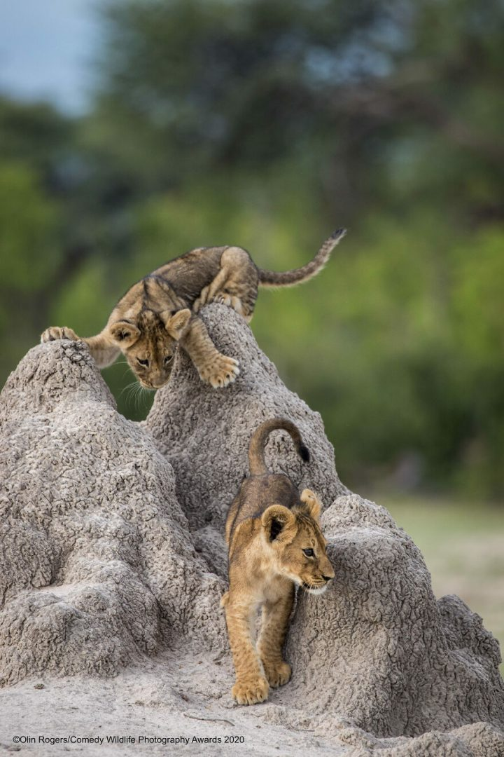 Les gagnants du Comedy Wildlife Photography Awards 2020 13