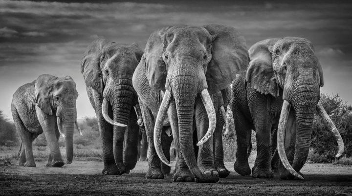Les superbes photos noir & blanc de David Yarrow 11