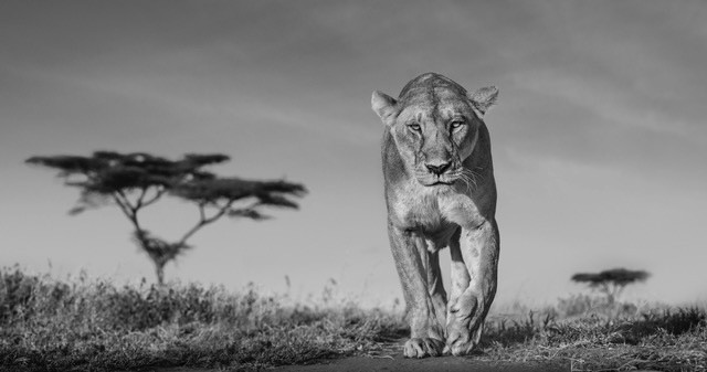 Les superbes photos noir & blanc de David Yarrow 16