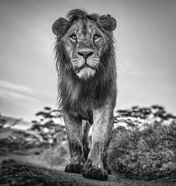 Les superbes photos noir & blanc de David Yarrow 19
