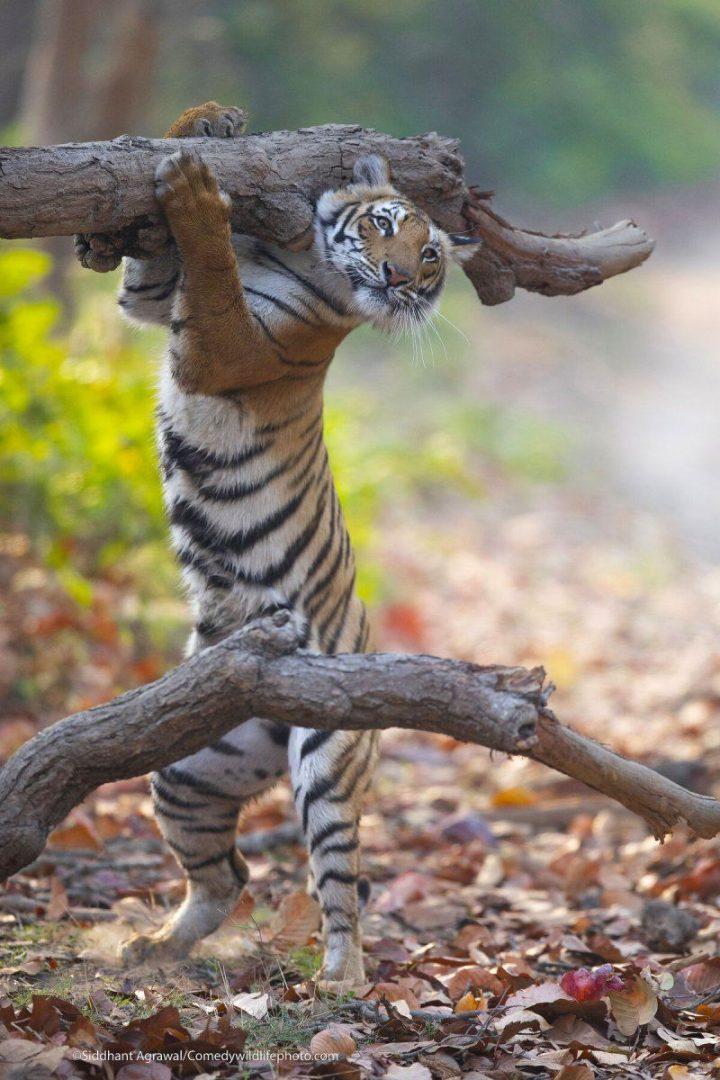 Comedy Wildlife Photography Awards 2021 43